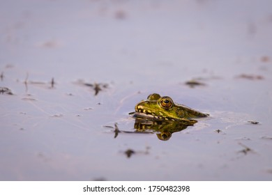 Frog in the pond water