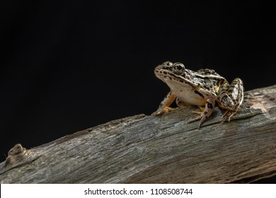 A frog posing on a dead tree with a black background