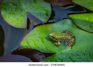 Frog Rana ridibunda (pelophylax ridibundus) sits in pond on green leaf of water lily. Close-up of small frog in natural habitat.