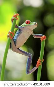 frog red eyes, standing between two stalks