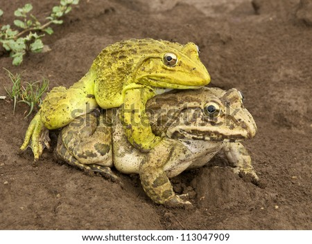 Frog picture sex