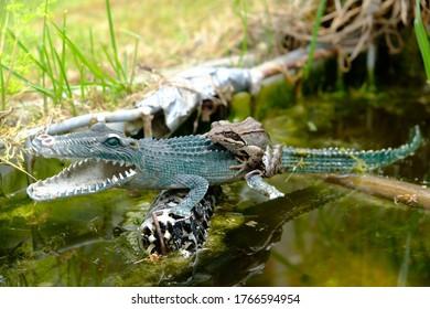 Frog sitting on a plastic crocodile. Reptiles