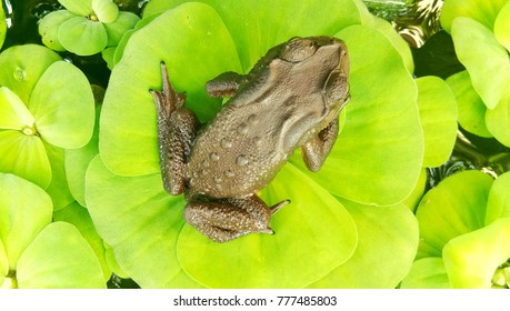 A frog sitting in the pond full water lilies