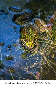 A frog is sitting in a pond in southern Germany