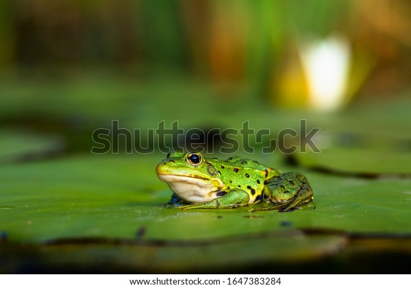 A frog sitting in water. Edible frog.