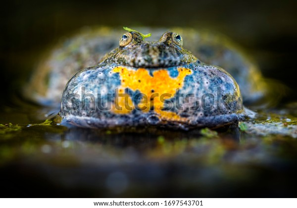 A frog sitting in water. European Fire-bellied Toad. A frog with big bubble resonators.
