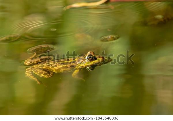 frog-swiming-pond-600w-1843540336.jpg