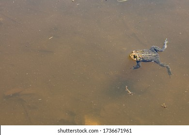 A frog is swimming in green water in a pond in the spring. The toad is swimming in the water in a wildlife refuge during mating season. The frog is in the soupy water in the summertime. Environmental