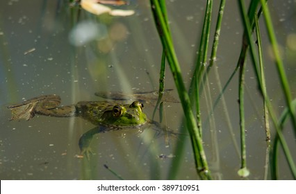 frog swimming in a pond