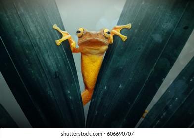 Лягушка, Древе-лягушка