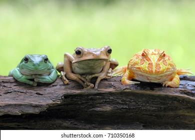 Frog, tree frog, bestfriend amphibian