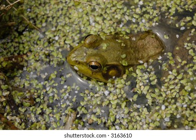 A frog waits for food among the duckweed in a pond