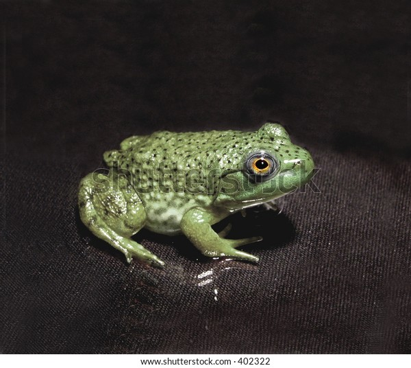Froggy in a solemn camouflage