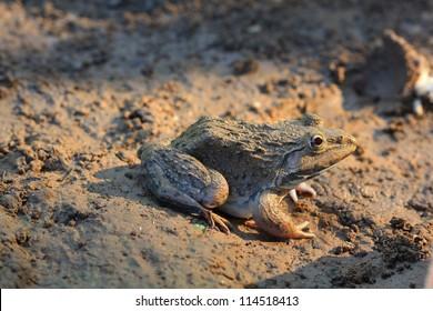 Frog(Hoplobatrachus rugulosus) in the field of Thailand