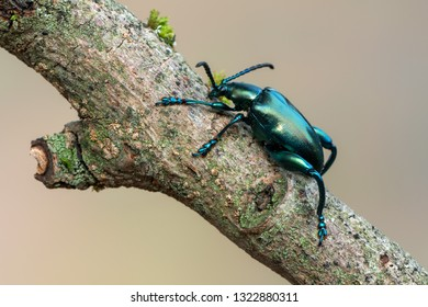 frog-legged beetle - Sagra sp.