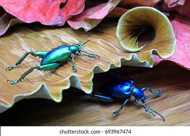 Frog-legged leaf beetle : Sagra femorata, found in Southeast Asia, brightly colored. Unlike its namesake, it doesn't use its hind legs for jumping, instead they'reused to cling on stems while it eats