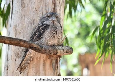 Frogmaul sitting on a tree in Australia
