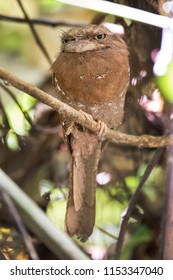 Frogmouth owl spotted at Sinharaja rain forest reserve Sri Lanka. Also called as Ceylon frogmouth