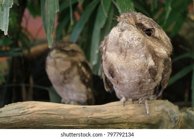 frogmouth sitting on a tree branch