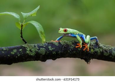 Frog/Red-Eyed Amazon Tree Frog (Agalychnis Callidryas)