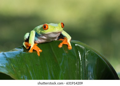 Frog/Red-Eyed Amazon Tree Frog (Agalychnis Callidryas)