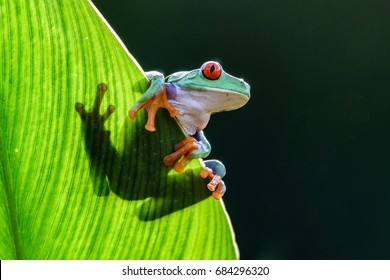 Frog/Red-Eyed Amazon Tree Frog (Agalychnis Callidryas)The most beautiful frog in the world