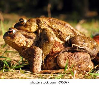 frogs copulating