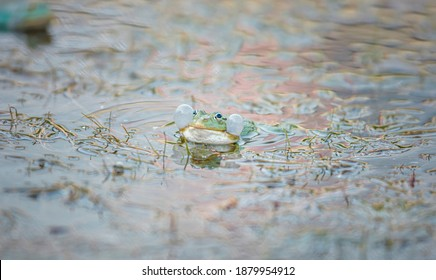 Frogs couple, green frog in wildlife lake reptile. Anura from class Amphibia includes the frogs and toads, frogs. Frog forms with long leg reptile.