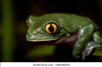 Frogs endemic from costa rica