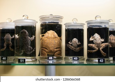 Frogs in a glass containers preserved and conserved in formalin. Fluid preserved frog in flasks. Wet specimens.