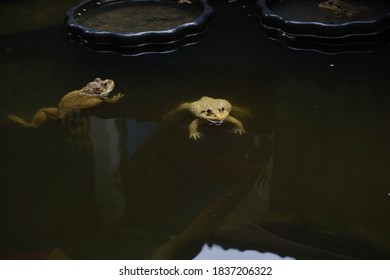 Frogs swimming in the pond.