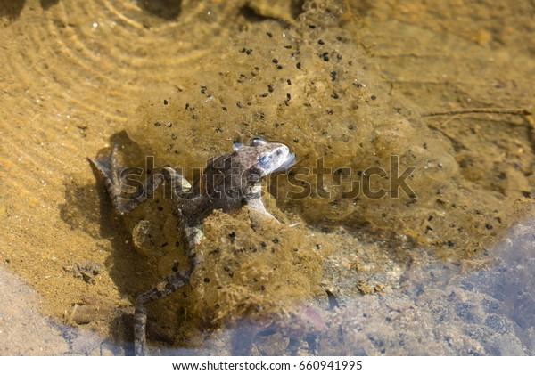 Frogs Tadpoles Stock Photo (Edit Now) 660941995