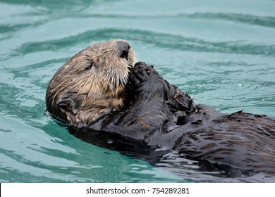 Frolicking Sea Otters