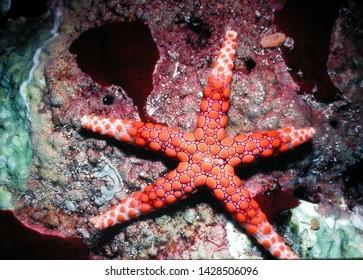 Fromia Monilis Seastar Button Starfish
