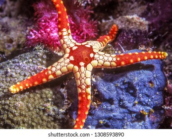 Fromia monilis,necklace starfish or tiled starfish,starfish belonging to the family Goniasteridae.