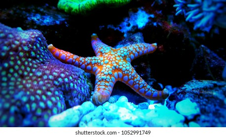 Fromia starfish in aquarium tank