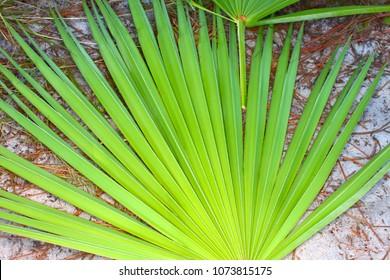 Frond of a saw palmetto (Serenoa repens) in central Florida