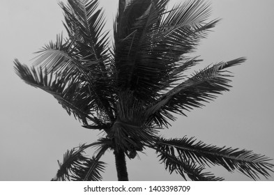 The fronds of a coconut palm are blowing in a storm. The sky is grey. The photograph is in black and white.