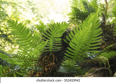 Fronds of rock polypody, Polypodium virginianum, with translucent backlighting, along shoreline of Mountain View Lake, Sunapee, New Hampshire. - Shutterstock ID 352433942