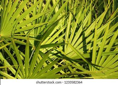 Fronds of saw palmetto (Serenoa repens) in central Florida
