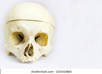 front anatomical view of human skull bone with the vault of the skull seperated by saw and without mandible in isolated white background with space for text
