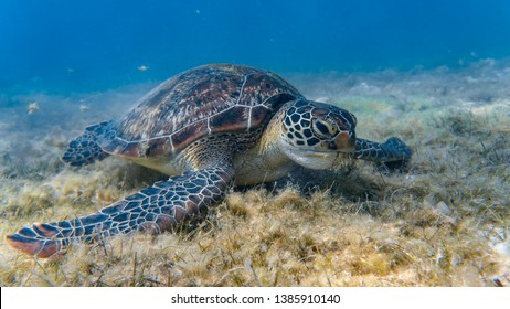 Front angle of a green sea turtle feeding on a sea grass in a shallow and sandy reef.