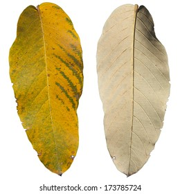 Front and back leave, yellow leaf, big leaf,  Lagerstroemia speciosa, Queen's crape myrtle , Pride of India, LYTHRACEAE