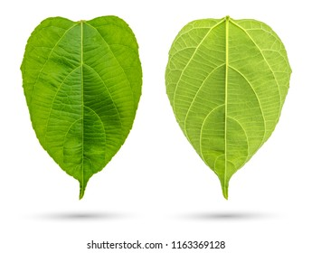 Front and back of Sacha inchi leaf or Inca peanut leaf (Plukenetia volubilis) isolated on white background with clipping path