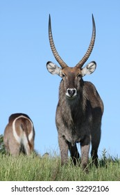 Front and back views of the magnificent waterbuck antelope