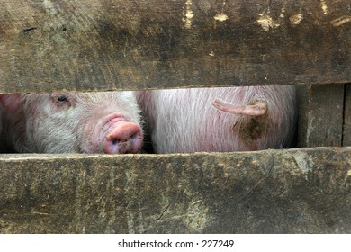 Front and behind of two pigs