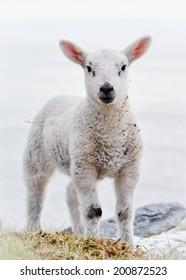 Front Close up vertical portrait of one Single Little alive few months old free range Lamb or young sheep standing outside in the countryside alone without ear tags and looking into the camera