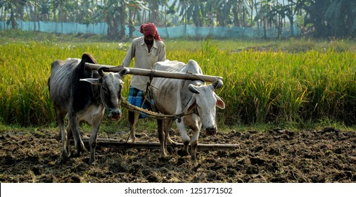 Front close up view of an Indian farmer using a bamboo ladder with his two oxen's to flatten and smoothen the soil for cultivation and in the background is ripe rice plant