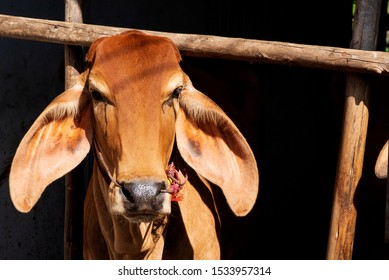 Front of a cow red (Brahman)in a corral.
