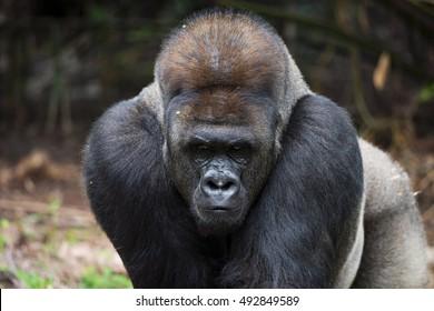 In Front of Eastern Lowland Silverback Gorilla